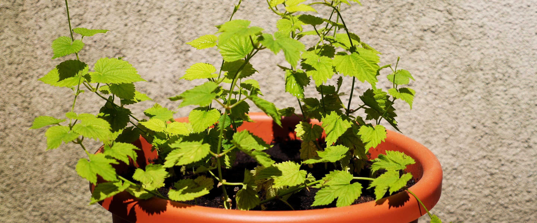 Drei Hopfenpflanzen auf dem Balkon